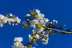 Apple και άνθος κερασιών Στοκ εικόνες με δικαίωμα ελεύθερης χρήσης