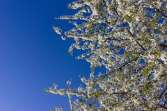 Apple και άνθος κερασιών Στοκ Εικόνα