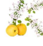 Apple και άνθος μήλων, κλάδος λουλουδιών Στοκ φωτογραφίες με δικαίωμα ελεύθερης χρήσης