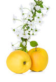 Apple και άνθος μήλων, κλάδος λουλουδιών Στοκ Εικόνες