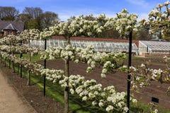 Apple και δέντρα αχλαδιών που εκπαιδεύονται ως espaliers Στοκ Εικόνα