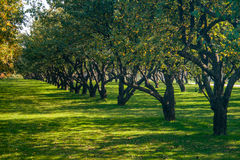 Apple και οπωρωφόρα δέντρα Στοκ Εικόνες