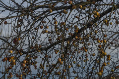 Apple και πιό brier δέντρο το χειμώνα Στοκ Φωτογραφία