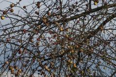 Apple και πιό brier δέντρο το χειμώνα Στοκ εικόνες με δικαίωμα ελεύθερης χρήσης