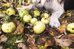 Apple και σκυλί Στοκ Εικόνες