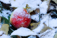 Apple και φύλλα στο έδαφος κάτω από το πρώτο χιόνι Στοκ εικόνα με δικαίωμα ελεύθερης χρήσης
