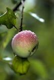 Apple καλοκαίρι κήπων Στοκ φωτογραφία με δικαίωμα ελεύθερης χρήσης