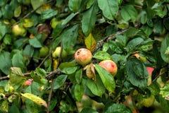 Apple καλοκαίρι κήπων Στοκ εικόνα με δικαίωμα ελεύθερης χρήσης