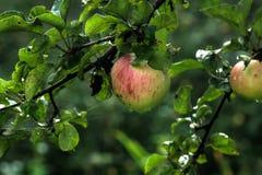 Apple καλοκαίρι κήπων Στοκ Φωτογραφία
