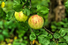 Apple καλοκαίρι κήπων Στοκ εικόνες με δικαίωμα ελεύθερης χρήσης
