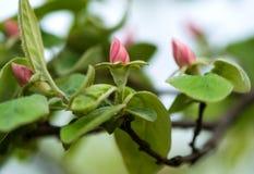Apple-κυδώνι Στοκ Φωτογραφίες