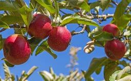 Apple κόκκινη Ρώμη στο δέντρο Στοκ Εικόνα