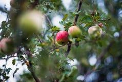 Apple, μήλα, δαμάσκηνα, ντομάτες, σταφύλια, φράουλες Πώς να αυξηθεί τις εγκαταστάσεις κήπων το καλοκαίρι Στοκ φωτογραφίες με δικαίωμα ελεύθερης χρήσης