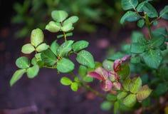 Apple, μήλα, δαμάσκηνα, ντομάτες, σταφύλια, φράουλες Πώς να αυξηθεί τις εγκαταστάσεις κήπων το καλοκαίρι Στοκ Εικόνες