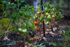 Apple, μήλα, δαμάσκηνα, ντομάτες, σταφύλια, φράουλες Πώς να αυξηθεί τις εγκαταστάσεις κήπων το καλοκαίρι Στοκ Φωτογραφίες