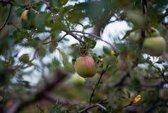 Apple, μήλα, δαμάσκηνα, ντομάτες, σταφύλια, φράουλες Πώς να αυξηθεί τις εγκαταστάσεις κήπων το καλοκαίρι Στοκ Φωτογραφία