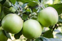 Apple με τα φύλλα που αυξάνονται στο δέντρο Στοκ Εικόνες
