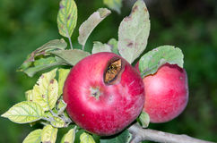 Apple με τη μέλισσα Στοκ Εικόνα