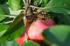 Apple με τη σφήκα Στοκ φωτογραφίες με δικαίωμα ελεύθερης χρήσης