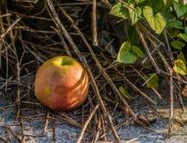 Apple που βάζει στο έδαφος Στοκ Εικόνα