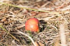 Apple που βρίσκεται στο έδαφος στη φύση Στοκ Φωτογραφίες