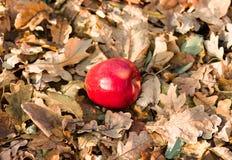 Apple που βρίσκεται στο έδαφος Στοκ Εικόνα