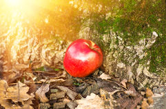 Apple που βρίσκεται στο έδαφος Στοκ φωτογραφία με δικαίωμα ελεύθερης χρήσης