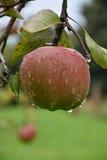 Apple που καλύπτεται με τις σταγόνες βροχής Στοκ εικόνα με δικαίωμα ελεύθερης χρήσης