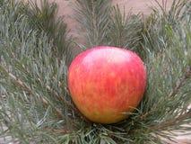 Apple που τίθεται στους κλάδους έλατου Στοκ Φωτογραφία
