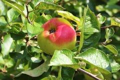 Apple που ωριμάζει σε ένα δέντρο μηλιάς Στοκ εικόνες με δικαίωμα ελεύθερης χρήσης