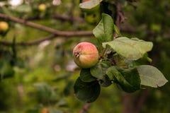 Apple που ωριμάζει στον κλάδο δέντρων μηλιάς Στοκ Εικόνες