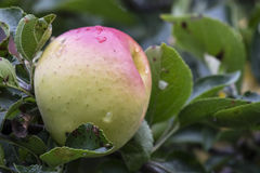 Apple που ωριμάζει στον κλάδο δέντρων Στοκ φωτογραφίες με δικαίωμα ελεύθερης χρήσης