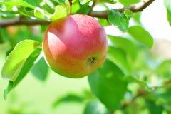 Apple που ωριμάζει στο δέντρο μηλιάς Στοκ Φωτογραφία