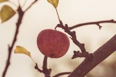 Apple σε έναν κλάδο δέντρων Στοκ Εικόνα