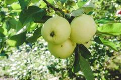 Apple σε έναν κλάδο σε έναν κήπο νωρίς το πρωί Φρέσκα juicy φρούτα, οργανικά προϊόντα στο φυσικό καθορισμό του καλοκαιριού στοκ φωτογραφία