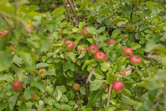 Apple σε έναν κλάδο δέντρων μηλιάς Στοκ εικόνα με δικαίωμα ελεύθερης χρήσης