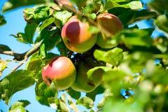 Apple σε έναν κλάδο δέντρων μηλιάς Στοκ εικόνες με δικαίωμα ελεύθερης χρήσης