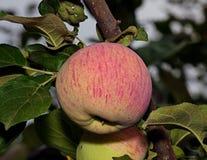 Apple σε έναν κλάδο δέντρων Στοκ φωτογραφία με δικαίωμα ελεύθερης χρήσης