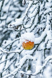 Apple σε έναν κλάδο που καλύπτεται με το χιόνι Στοκ φωτογραφίες με δικαίωμα ελεύθερης χρήσης
