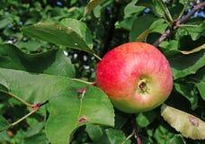 Apple σε έναν κλάδο σε έναν κήπο Στοκ Φωτογραφία