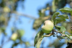 Apple σε έναν κλάδο σε έναν κήπο Στοκ εικόνα με δικαίωμα ελεύθερης χρήσης