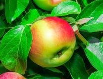 Apple σε έναν κλάδο Στοκ Φωτογραφίες