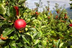 Apple σε έναν οπωρώνα μήλων Στοκ Εικόνες