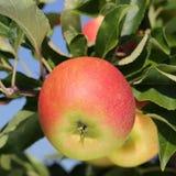 Apple σε ένα δέντρο μηλιάς το καλοκαίρι Στοκ εικόνα με δικαίωμα ελεύθερης χρήσης