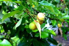 Apple σε ένα δέντρο μηλιάς Στοκ Φωτογραφίες