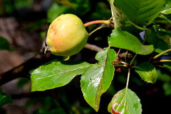 Apple σε ένα δέντρο μηλιάς Στοκ φωτογραφία με δικαίωμα ελεύθερης χρήσης