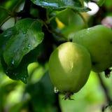 Apple σε ένα δέντρο μηλιάς Στοκ φωτογραφίες με δικαίωμα ελεύθερης χρήσης