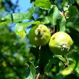 Apple σε ένα δέντρο μηλιάς Στοκ Εικόνα