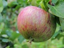 Apple σε ένα δέντρο στον εγχώριο κήπο Στοκ εικόνα με δικαίωμα ελεύθερης χρήσης