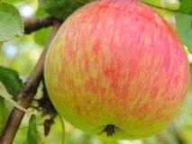 Apple σε ένα δέντρο στον εγχώριο κήπο Στοκ Φωτογραφίες